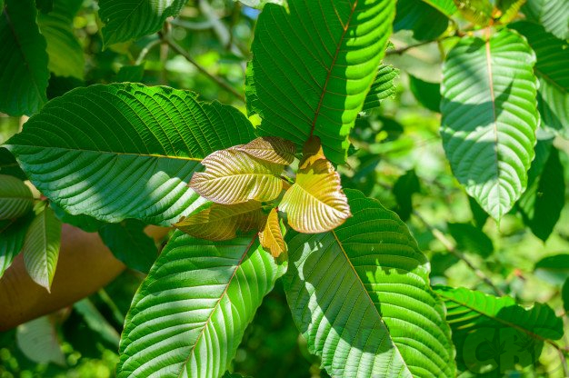 Everything You Wanted to Know About Kratom But Didn't Know Who To Ask